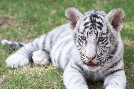 tigre cachorro: Cute joven cachorro de tigre blanco de Bengala (pt bengalensis)