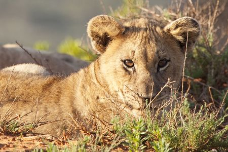 Portrait of a cute little African lion cub (Panthera leo), South Africa photo