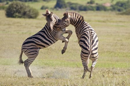 burchell: Burchell zebras playing in the field, South Africa