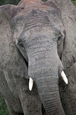 angry elephant: close-up of an african elephant, south africa Stock Photo
