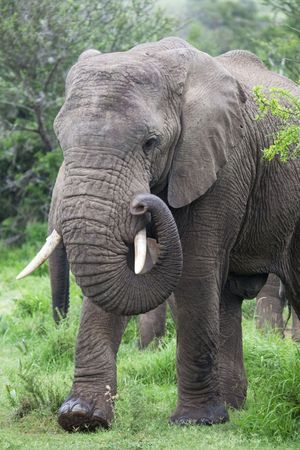 elephant angry: african elephant stepping out of the bush