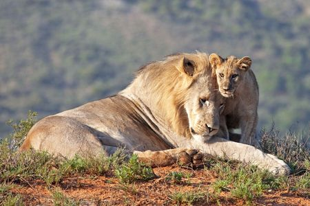 female lion: African lion father and son (Panthera leo), South Africa Stock Photo