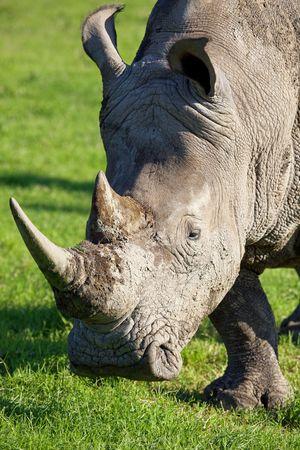White rhinoceros, Ceratotherium simum, South Africa