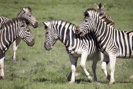 burchell: Burchell zebras playing in the field, South Africa  Stock Photo