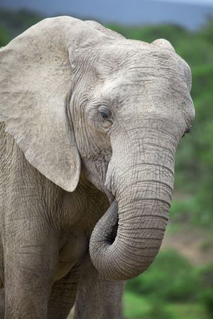 close-up of an african elephant, south africa Stock Photo