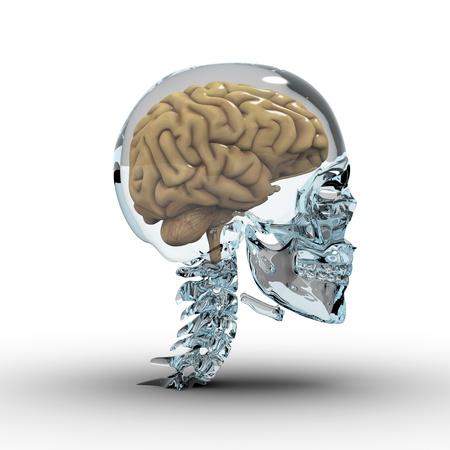 Glass skull with brain.