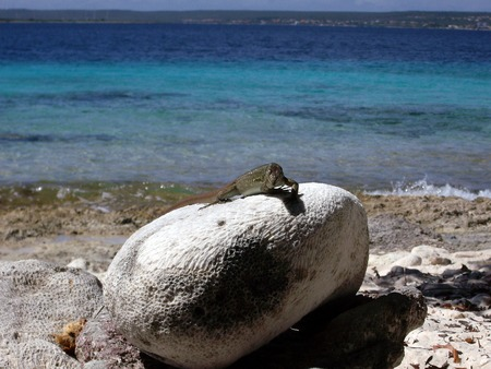 bonaire: Lizard on Bonaire