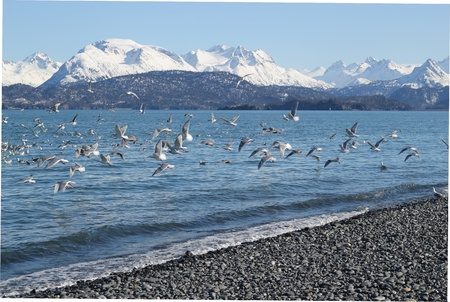 A flock of sea gulls flying over the water with snow covered mountains in the background Stock Photo