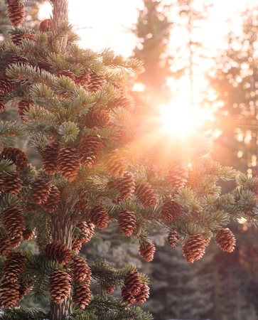 Setting sun in a Sitka spruce forest causes a sun burst through the trees