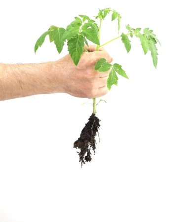 A male hand grasping a young tomato plant on a white background photo