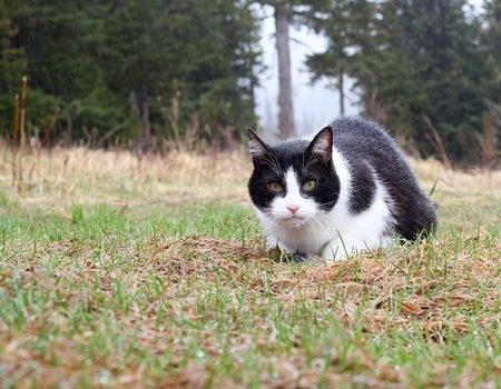 Felix the cat catches a mouse in the rain