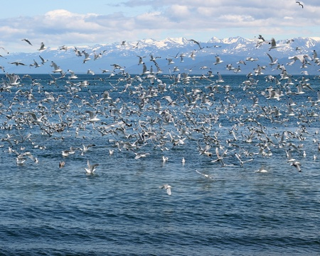 Flock of seagulls on the bay feeding on bait fish Stock Photo