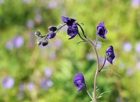 Close up of monkshod wildflowers