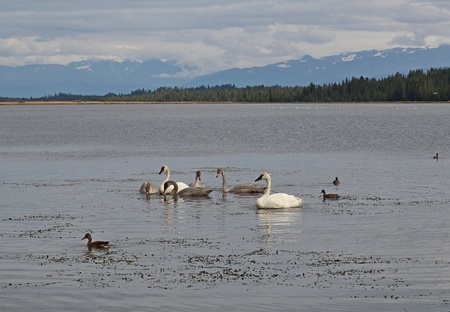 Mated pair of trumpeter swans with young offspring in an Alaskan lake in fall before their migration south. Stock Photo - 10597772