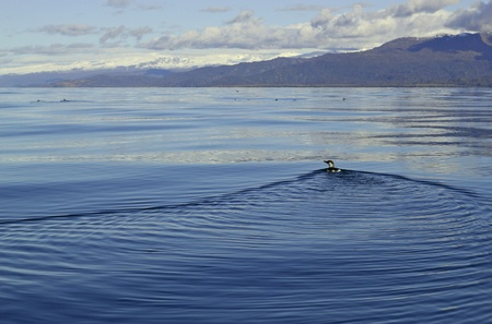 Common murre shorebird swimming in still waters of the Kachemak Bay with the Kenai Mountains in the background Stock Photo