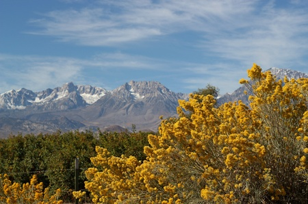 sierras: Bright yellow Rabbitbrush in fall with the Sierra mountains in the background on a sunny day. Stock Photo