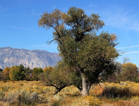 cottonwood  tree: Old cottonwood tree near Bishop, California on a sunny fall day with the Sierra Mountains in the background. Stock Photo