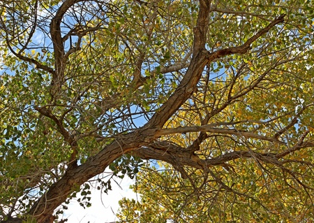 cottonwood  tree: Looking up into the large branches of a beautiful cottonwood tree in early fall with the leaves starting to turn yellow.