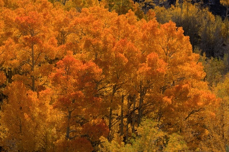 Colorful bright orange aspen trees in fall