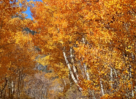 Colorful aspen tree lining a rural road in the Eastern Sierras in autumn photo