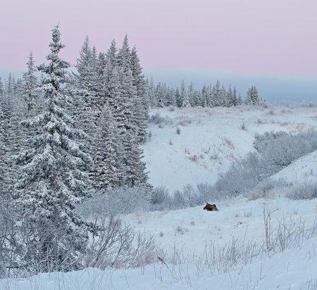 Pink glow of sunset across an Alaskan landscape in winter with tall spruce trees and a sleeping moose.