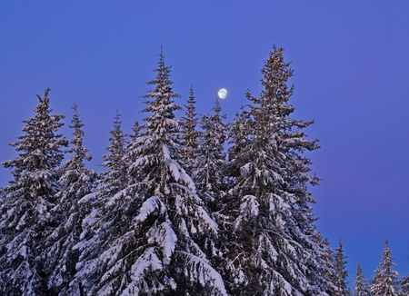 Snow covered spruce trees at night with a full moon.