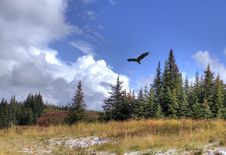 Bald eagle soars over Alaskan scenery with spruce trees, a dusting of snow and dramatic clouds.