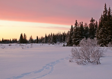 Snowshoe tracks following lynx tracks in the snow in the pink glow of sunset at the edge of an Alaskan spruce forest. Stock Photo