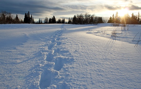 Long snow shoe track leading off into the distant spruce forest at sunset with a glow through the trees.   photo