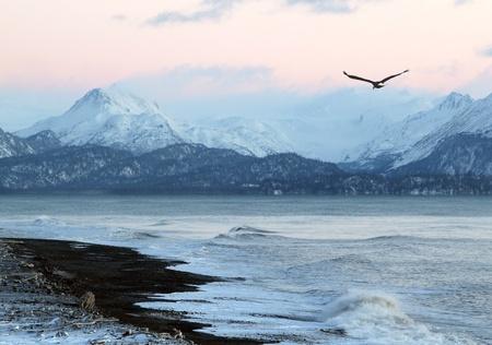 aguila volando: Resplandor rosado de la puesta de sol en una playa de Alaska en invierno, con un �guila en vuelo y las monta�as en el fondo.