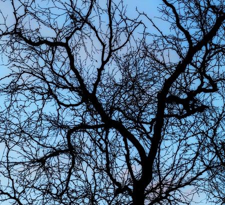 背景の明るい青い空と冬に裸の白樺の木のシルエット。 写真素材