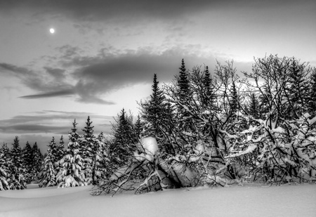Winter evening landscape in Alaska with spruce trees, snow, clouds and a moon in black and white.