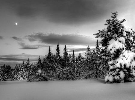 Alaskan winter night with moon, spruce trees and snow in black and white.