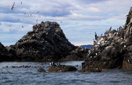 puffins: Gull Island in the Kachemak Bay near Homer, Alaska with colonies of nesting seabirds including kittiwakes, murres, gulls, cormorants, puffins and guillemots.