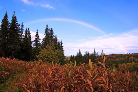 Rainbow against blue sky over Alaskan scenery in fall with spruce trees and red fireweed. photo