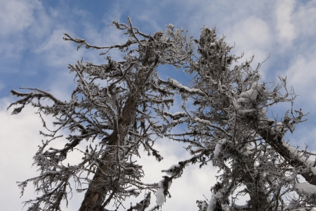 Dead Alaskan spruce trees killed by bark beetle infestations caused by a warming climate.