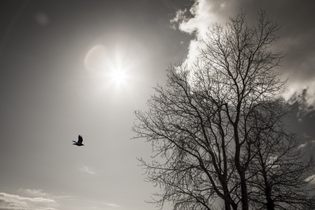 Stark winter birch tree with a sunburst, lens flare, crow, and cloud in black and white.