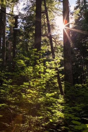 hemlock: La luz del sol que entraba por los árboles en un bosque en el sudeste de Alaska cerca de Haines Foto de archivo