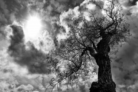 Ancient gnarled cottonwood tree with storm clouds and sun in dramatic black and white. photo
