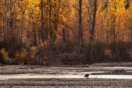 birch trees: Bald eagle feeding on salmon in the Chilkat river near Haines Alaska with fall colors from birch trees in the background.