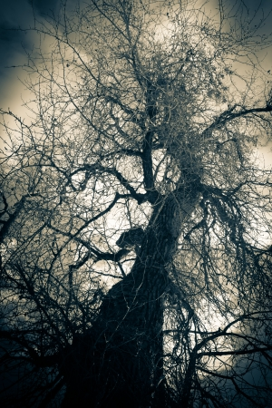 cottonwood  tree: Ancient knarled cottonwood tree in winter mist. Stock Photo