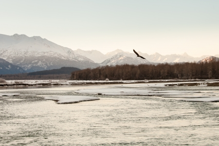 Bald eagle flying at the Chilkat Bald Eagle Preserve in Alaska in winter. photo