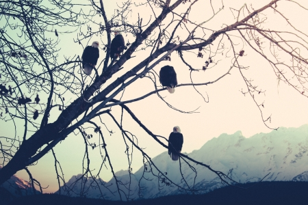 cottonwood  tree: Bald eagles in a tree at sunset with Alaskan mountains in the background.