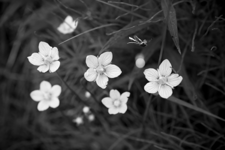 Summer flowers with a small dragon fly in black and white.
