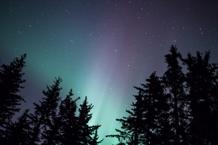 northern light: Glow of northern lights through silhouetted spruce trees in Alaska.