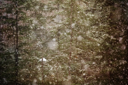 hemlock: Heavy snow with large flakes falling in a dense forest.