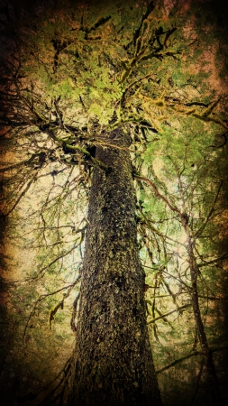 hemlock: Giant old growth Hemlock tree processed with textures for an artistic look.