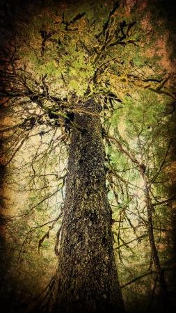 cicuta: Gigante �rbol viejo Hemlock crecimiento procesada con texturas para una mirada art�stica. Foto de archivo