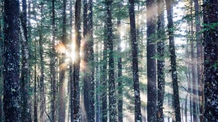 hemlock: Sunbust y los rayos de luz que brilla a través de un denso bosque de árboles altos.