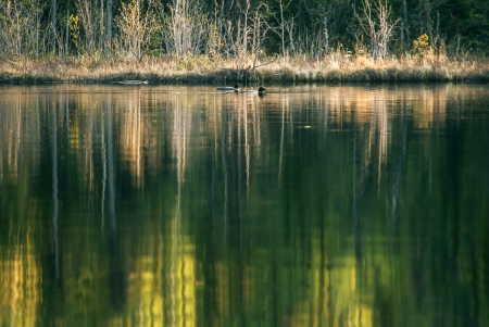 A mated pair of Common Loons on an Alaskan lake with tree reflections in the water. Stock Photo